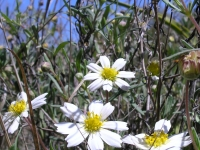 Black-Foot Daisy - Melampodium leucanthum