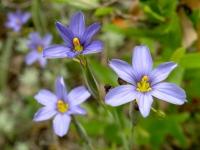 Blue-Eyed Grass - Sisyrinchium ensigerum