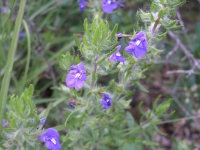 Blue Sage - Salvia texana