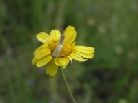 Cowpen Daisy - Verbesina encelioides