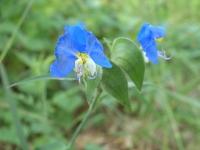Day Flower - Commelina erecta