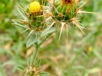 Malta Star-Thistle - Centaurea melitensis