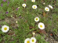 Prairie Fleabane - Erigeron modestus