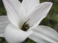 Rain-Lily - Cooperia pedunculata