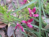 Ratany - Krameria lanceolata
