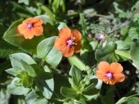 Scarlet Pimpernel - Anagallis arvensis