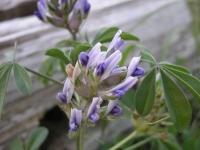 Scurf-Pea - Psoralea latestipulata