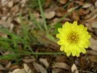 Texas Dandelion - Pyrrhopappus multicaulis