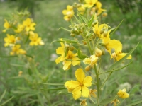 Two-Leaved Senna - Cassia Roemeriana