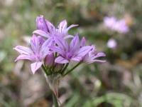 Wild Garlic - Allium Drummondii