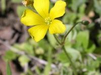 Yellow Wood-Sorrel - Oxalis Dillenii