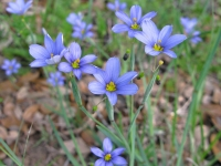 Blue-eyed Grass - Sisyrinchium ensigerum