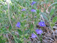 Drummonds Skullcap - Scutellaria drummondii