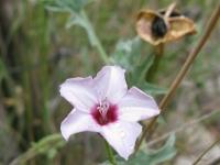 Texas Bindweed - Convolvulvus equitanus