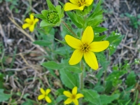 Texas Star - Lindheimera texana