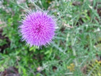 Texas Thistle - Cirsium texanum
