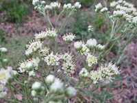 Woolly White, Old Plainsman - Hymenopappus scabiosaeus