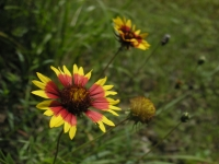 Firewheel, Indian Blanket - Gaillardia pulchella