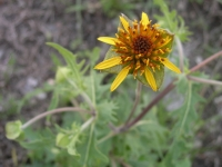Nerve-Ray - Tetragonotheca texana