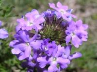 Prairie Verbena - Verbena bipinnatifida