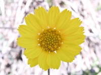 Slender-Stem Bitterweed - Hymenoxys scaposa