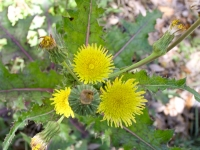 Sow-Thistle - Sonchus