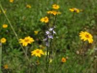 Texas Vervain - Verbena Halei
