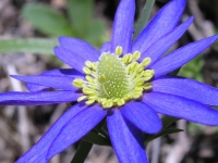 Wind-Flower - Anemone heterophylla