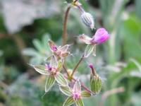 Pin Clover - Erodium cicutarium