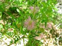 Pink Mimosa - Mimosa borealis
