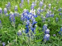 Texas Bluebonnet - Lupinus texensis